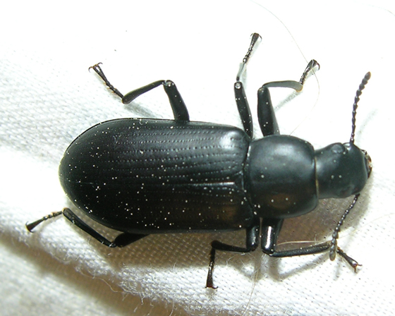 Unknown beetle #5 - Alobates pensylvanicus