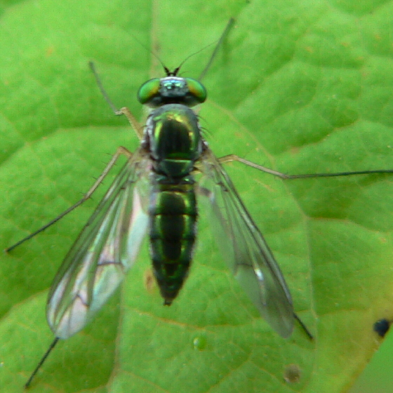 Longlegged fly - Condylostylus - female