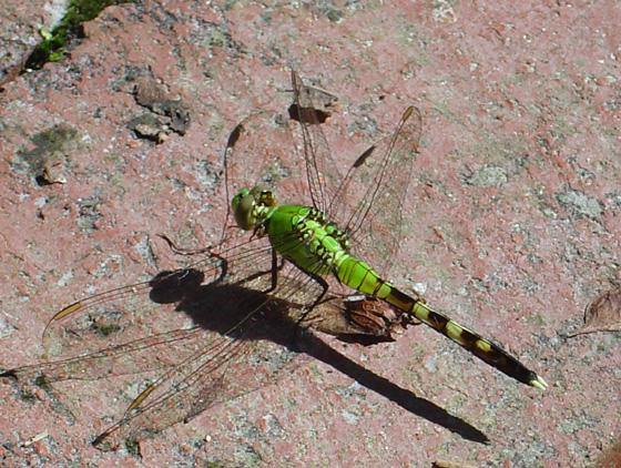 green dragonfly - Erythemis simplicicollis - male