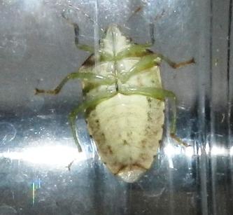 Stink Bug - Banasa calva? - Banasa calva