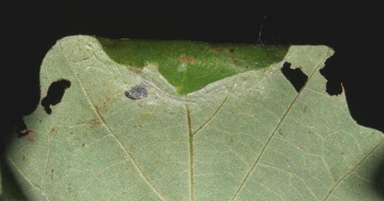 Noctuidae, Confused Woodgrain, Bur Oak leaf edge curl - Morrisonia confusa
