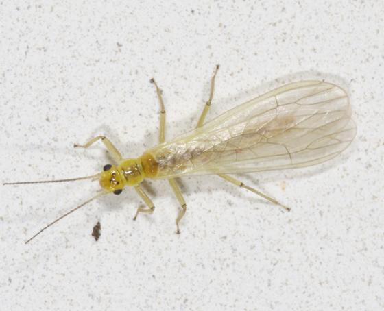 Chloroperlidae: Sweltsa onkos - Sweltsa onkos