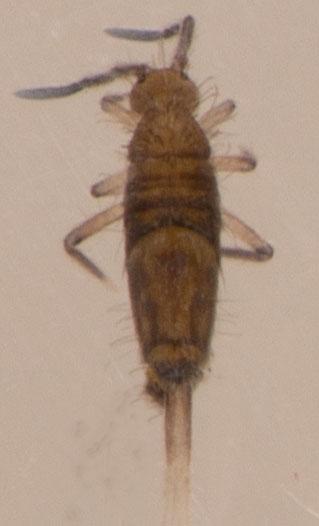 Entomobrya ? - Entomobrya