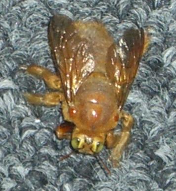 A really big bee - Xylocopa varipuncta - male