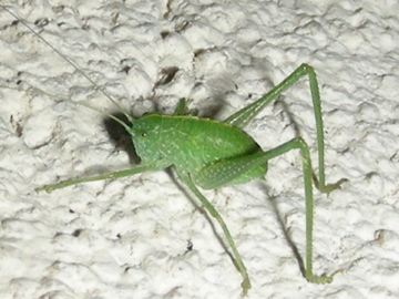 Which Katydid Nymph  ? - Microcentrum