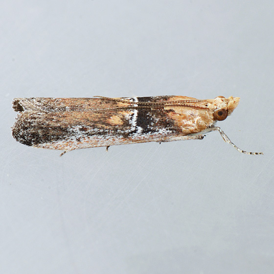 Moth for ID - Honora mellinella