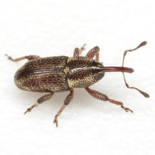 Nicentrus saccharinus Marshall - Nicentrus saccharinus