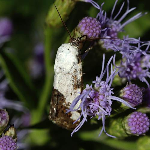 Moth - Tarache tetragona