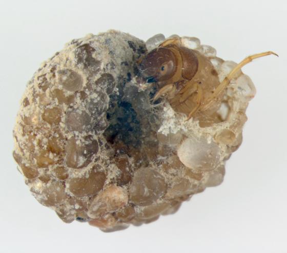 Helicopsychidae, Snail-case Caddisfly, Helicopsyche borealis - Helicopsyche