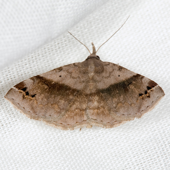 Six-spotted Gray Moth - Spargaloma sexpunctata