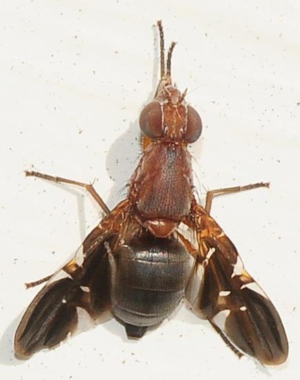 Ulidiidae - Picture-winged Flies Delphinia picta - Delphinia picta - female