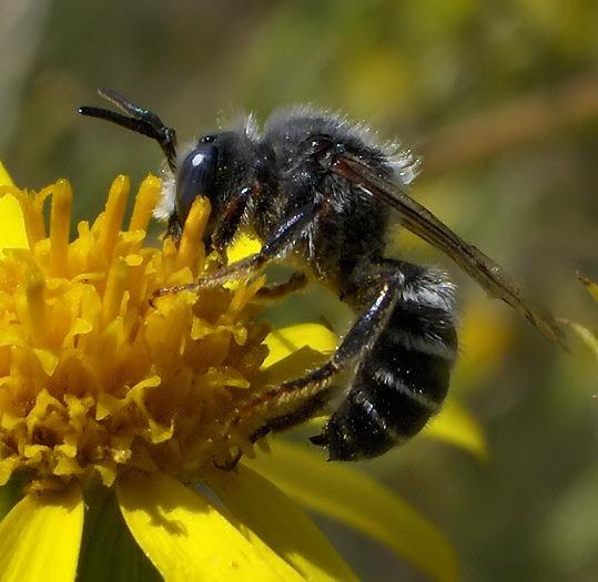 Black bee, white stripes - Hoplitis