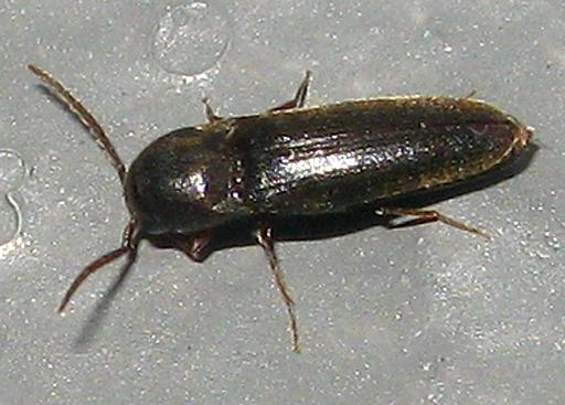 False Click Beetle - Dirrhagofarsus ernae