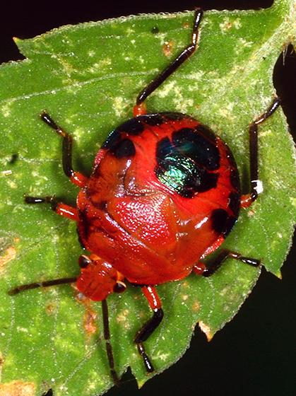 Conquistator mucronatus