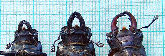Lucanus placidus nad Lucanus capreolus mandibles. Photo by Maria Fremlin, 14 February 2006