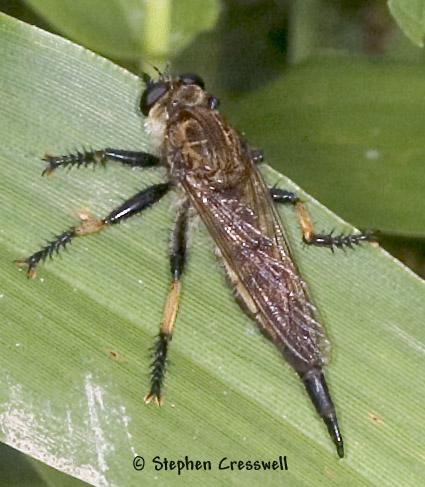 Big Robber - Promachus rufipes - female