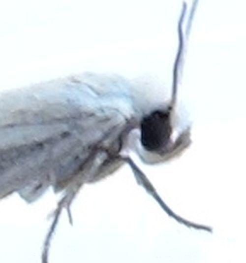 Arizona Moth