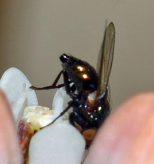 Milichiidae? - female