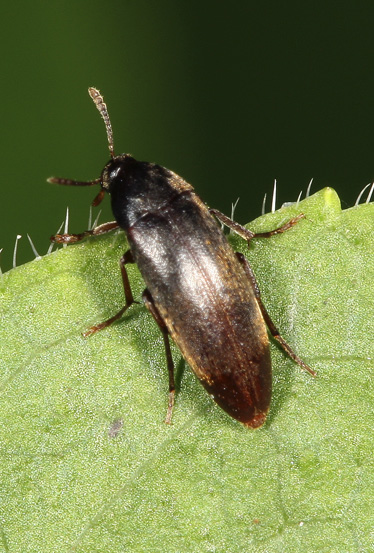Beetle - Orchesia