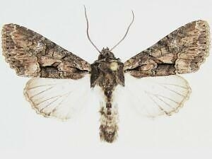 Mniotype pallescens - Hodges #9983 - Mniotype pallescens - male