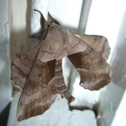 inside visitor - Amorpha juglandis