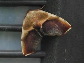 brown and mahogany coloured small moth - Plagodis kuetzingi