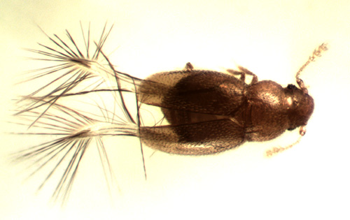 Micridium sp. - Micridium
