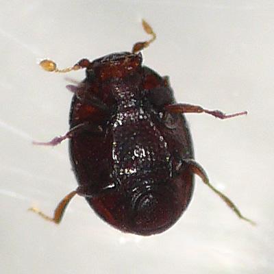 Bacanius punctiformis