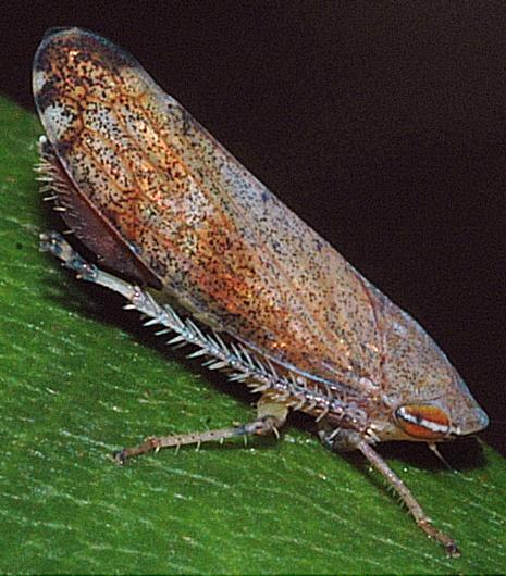Cherry Leafhopper - Fieberiella florii