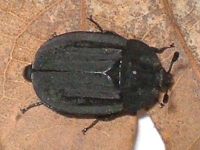 Ridged Carrion Beetle Species Oiceoptoma Inequale Oiceoptoma