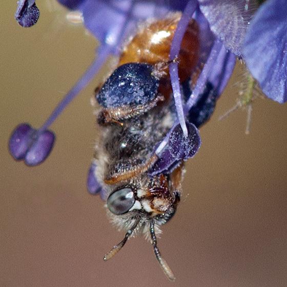 Polychrome bee packing purple pollen - Calliopsis barbata