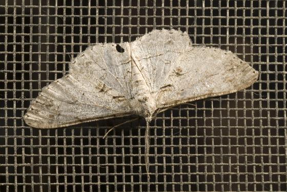 Moth on Screen - Iridopsis fragilaria