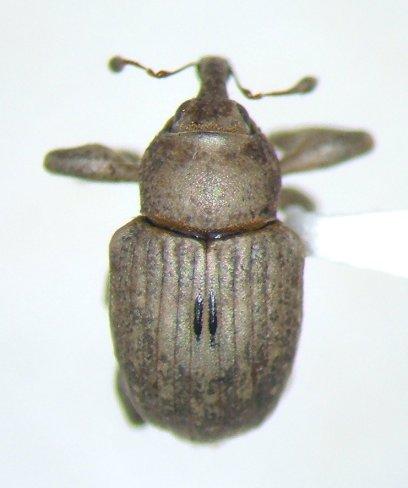 Neochetina - Neochetina eichhorniae