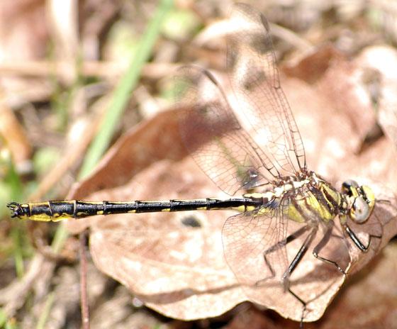 Dragonfly - Oklahoma Clubtail - male - Apr 8 - 2010 - Phanogomphus oklahomensis - male