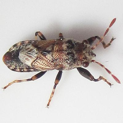 unknown true bug - Phlegyas abbreviatus