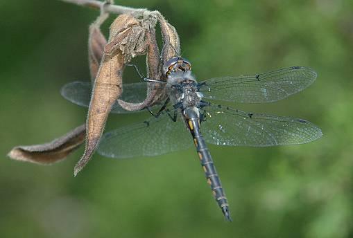 Dot-winged Baskettail - Epitheca petechialis - male