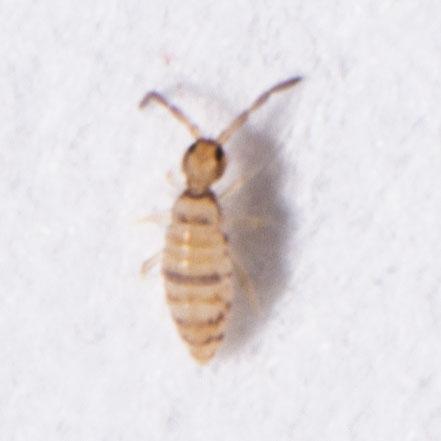 Collembola - Entomobrya atrocincta