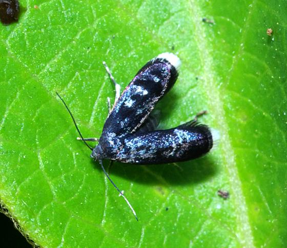 Twirler Moth - Gelechiidae? - Menesta tortriciformella