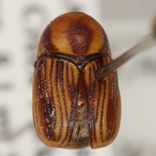 Cryptocephalus trivittatus Olivier  - Cryptocephalus trivittatus