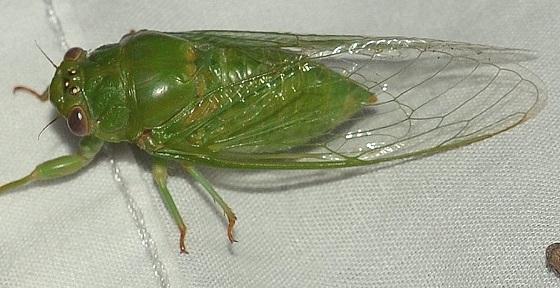 Okanagana viridis