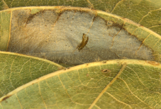 Gracillariidae, spent pupal case (Linden)  - Phyllonorycter lucetiella