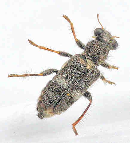 Cleridae - ? - Phyllobaenus