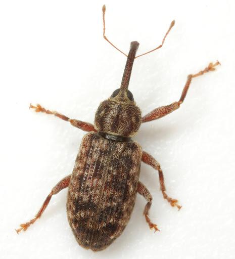 Dorytomus mucidus (Say) - Dorytomus mucidus