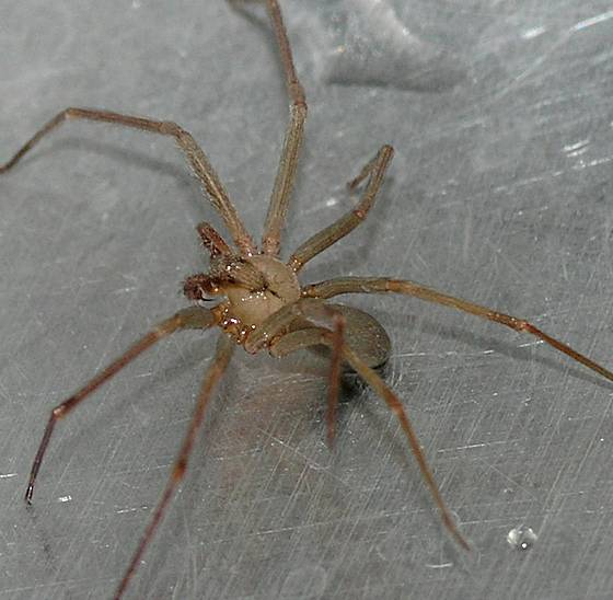 Brown Recluse Spider - Loxosceles reclusa - male