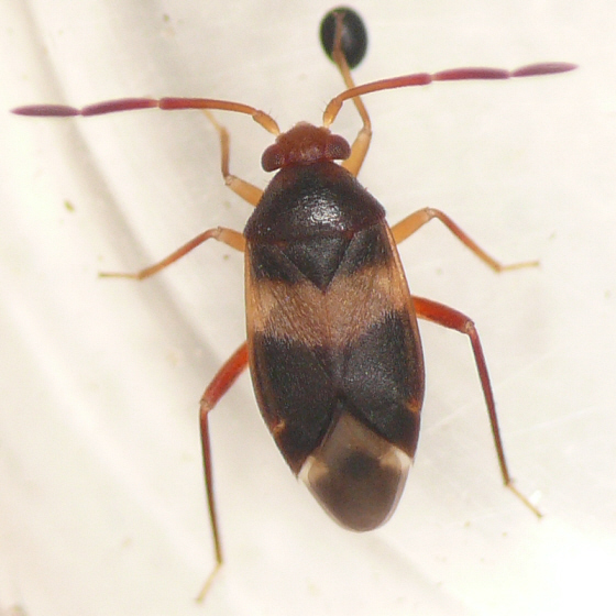 Ceratocapsus fasciatus
