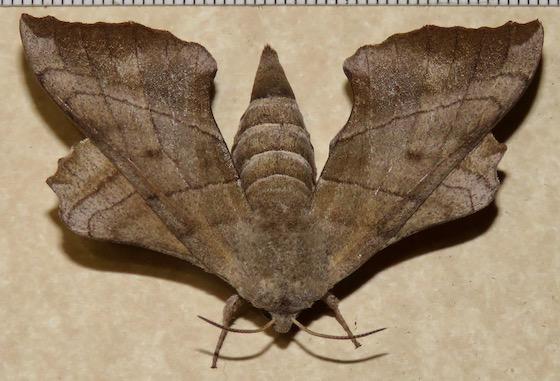 Walnut Sphinx - Hodges#7827 - Amorpha juglandis - female