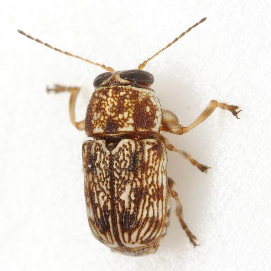 Pachybrachis texanus Bowditch - Pachybrachis texanus