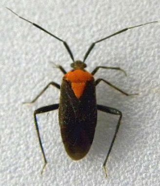 Prepops species possibly insitivus - Taedia