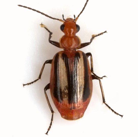 Lebia vittata (Fabricius) - Lebia vittata