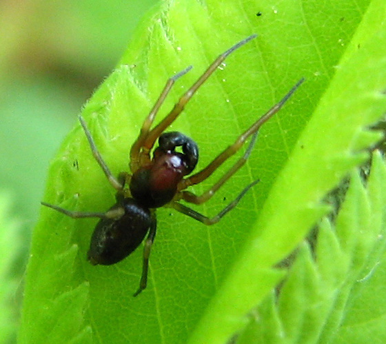 Small Red and Black Spider
